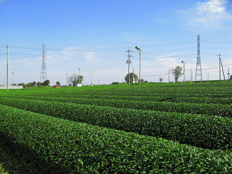 800px-Iruma_Sayama_Tea_Field_3