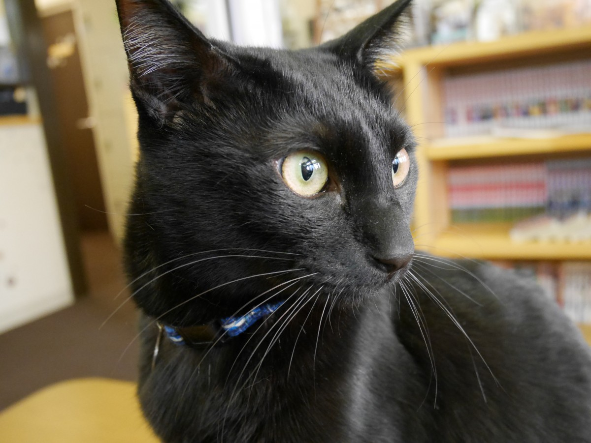 【さいたま市大宮区】「ネコカフェcatwalk」は清潔感があっておすすめ,猫かふぇ