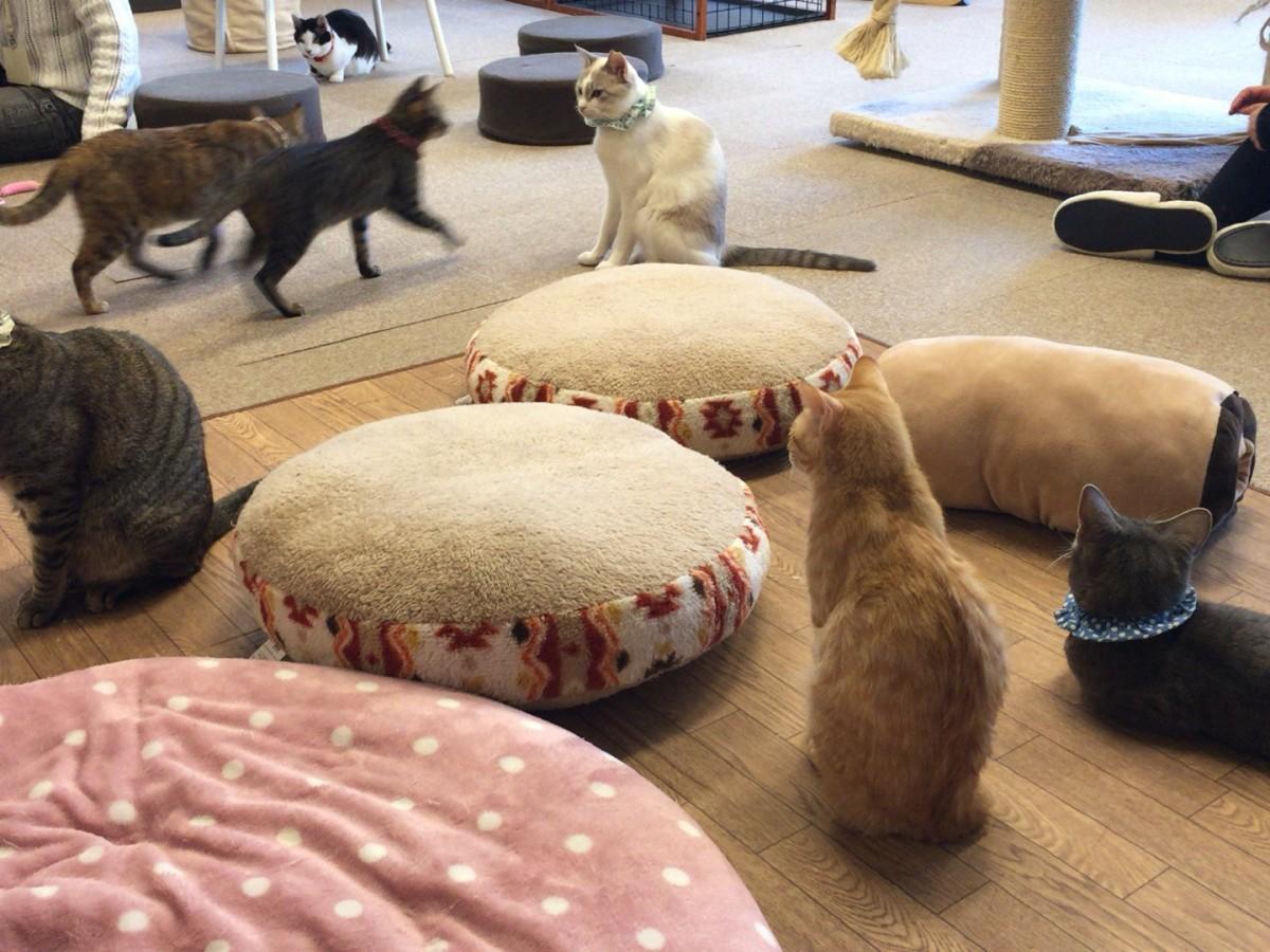 気に入った猫は譲ってもらえる、保護猫カフェ「ねこかつ」にいってきた【川越市】
